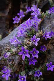 rock garden plants with campanula