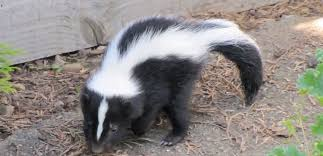 skunk removal cost. Wonderful Skunk Intended Skunk Removal Cost