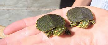 two baby red eared sliders on a person s hand