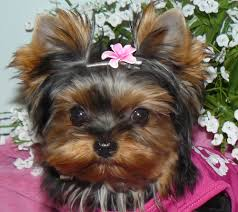 baby yorkshire terrier. Perfect Baby Thundering Hill Yorkies  Baby Doll For Sale In British Columbia  Canada Teacup Yorkies Yorkie Puppies To Yorkshire Terrier O