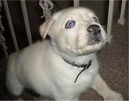 close up a blue e tan siberian retriever puppy is walking up a