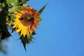 Sonnenblumen Bilder Kostenlose Und Lizenzfreie Fotos Schöne