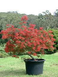 australian native plants for pots