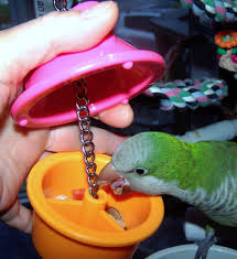 teaching this quaker parrot how to get treats out of a hide a treat