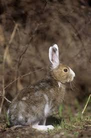 snowshoe varying hare 5296397 framed