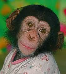 baby chimpanzee by chi liu