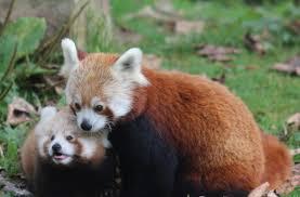 belfast zoo red panda baby1 2016 10 17