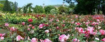 the roses are in bloom