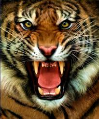tiger face growling. Wonderful Face EQ And The Tigeru0027s Roar U2013 Freqs Part 1 Intended Tiger Face Growling O
