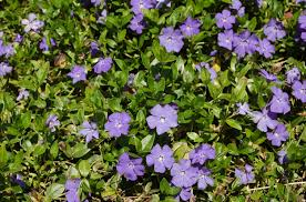 Gorgeous Annuals To Grow In The Shade  Plants Flower And GardensClimbing Plants That Like Shade