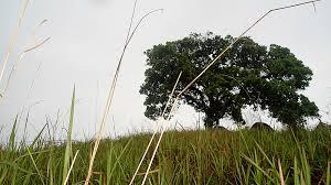 Hasil gambar untuk pohon akasia dan ilalang