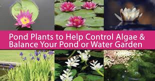 pond plants to control algae balance