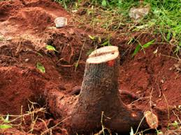 China Red Sandalwood Smuggling To China Via Bhutan Is In
