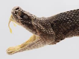 rattlesnake head striking. Delighful Rattlesnake See A Close Up Of The Head  Inside Rattlesnake Head Striking L