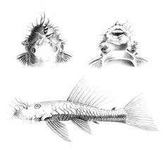 Bushymouth catfish