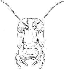 clip0274 grasshopper dissection biology junction on crayfish dissection worksheet