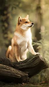 shibe wallpaper. Wonderful Wallpaper Animal  Shiba Inu 720x1280 Mobile Wallpaper On Shibe E