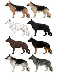 dogs drawings. Contemporary Drawings Howtodrawdogsgermanshepherdcolors In Dogs Drawings G
