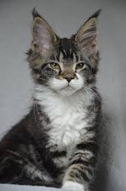 Coon Maine Poc Tabby-and-white –