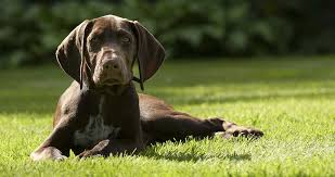 the sporting dogs breed group includes the lovely german shorthaired pointer