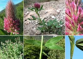 Trifolium rubens L. - Sistema informativo sulla flora delle Alpi ...