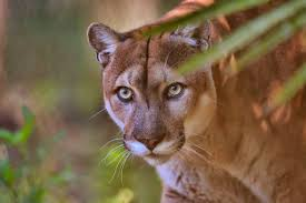 Select from premium florida panthers of the highest quality. Florida Panther Diet Habitat Facts Britannica