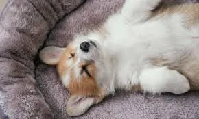 Why do they sleep so long? Corgi S Sleeping Habits Why Do Corgis Sleep Belly Up Corgi Care
