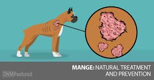 demodex mites dogs. Beautiful Demodex Demodex Mange In Dogs Throughout Mites N