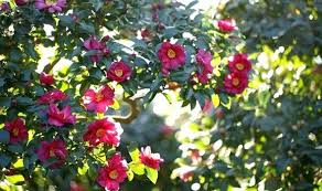 garden flowers. Uk Garden Flowers Winter Bring An Extra Sparkle With A Variety Of Life .