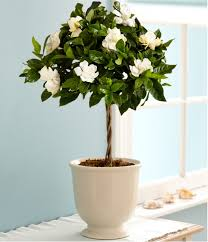 growing gardenias in pots is possible especially if you re short of space or live in cool temperate climate gardenia grows fairly easy in usda zones 8 to