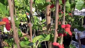 How To Prune A Hanging Mulberry Tree  YouTubeTeas Weeping Fruiting Mulberry Tree