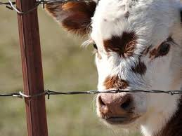 barbed wire fence cattle. Barbed Wire As Livestock Fencing To Protect Goat Fence Cattle C