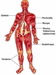 Stomach Muscle Chart Your Muscles For Kids Nemours Kidshealth