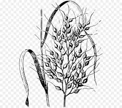 rice plant drawing. Exellent Plant Rice Cereal Drawing  Drawing Plant On Plant A