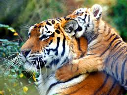 cute baby tiger wallpaper. Exellent Baby End Rampant Tiger Poaching_Tiger Keven Law With Cute Baby Wallpaper R
