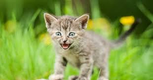 """Résultat de recherche d'images pour """"les miaulements du chat"""""""
