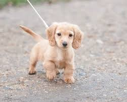 long haired miniature dachshund facts
