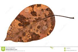 back side of deca dried leaf of apple tree stock image image of background