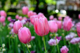 Tulipany Wiosenne Kwiaty Wiosna - Darmowe zdjęcie na Pixabay