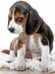 Beagle Age Equivilancy Chart To Show Human Comparison