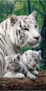 best white bengal tiger ideas white tigers big  essay on tigers extinction facts facts on essay tigers extinction great vocabulary words to use in an essay byline essay exam questions and answers