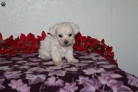timothy morkie poo puppy