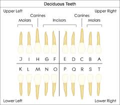 Universal Dental Tooth Chart Dental Charts To Understand