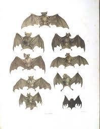Bat Species Chart Animal Bat Bats Of Brazil 2 Vintage Printable At