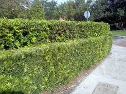 Buy mature shrubs orlando