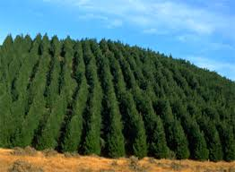 Pine Bark Extract - explained - ENZO Professional