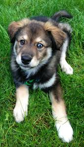 A Beginners Guide To Husky Golden Retriever Mix With Pictures