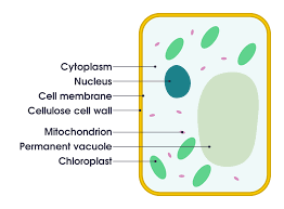 plant cell simple english the encyclopedia