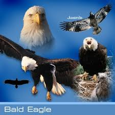 Bald Eagle Age Chart Bald Eagle Hawk Mountain Sanctuary Learn Visit Join