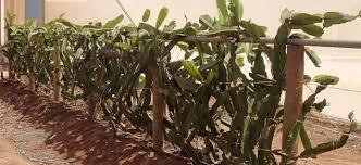 Best 25 Growing Dragon Fruit Ideas On Pinterest  Dragon Fruit How To Take Care Of Dragon Fruit Tree